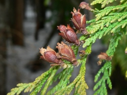 Cedar pic 2